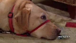 Abc News: Keeping An Eye On Service Dogs