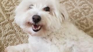 Maltese Terrier Mix,  Fluff Ball Charlie