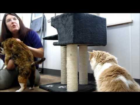 Cybele, senior tortoiseshell/manx cat - ADOPTED!