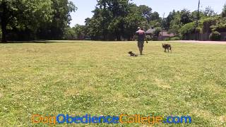 Fritz Off Leash Training Memphis Dog Obedience College