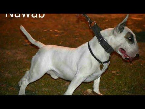 BULLTERRIER DOGS IN PUNJAB INDIA || TOP PUNJAB DE DOGS BULTAIR DOGS ||