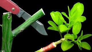 접붙이기 - 할접을 이용해서 성공적으로 감귤류 나무 접붙이기