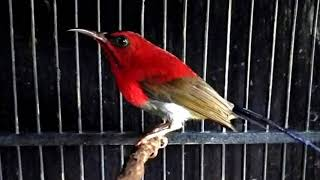 Langsung nyaut Masteran Burung Kolibri Sepah Raja super efektif bikin Burung Kolibri Sepah Raja g