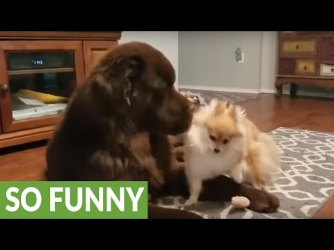 Newfoundland plays dead to avoid tiny angry dog