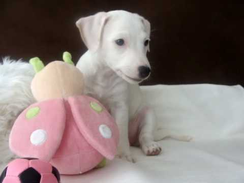 Puppy White Jack Rus