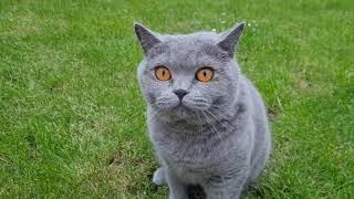 My Lovely Cat Kim | British Shorthair Cat