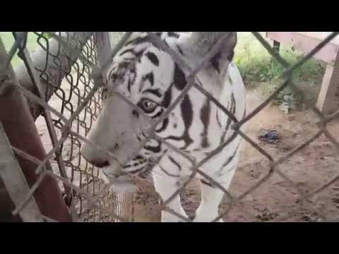 Morning Moos | WHITE TIGERS VOCALIZE