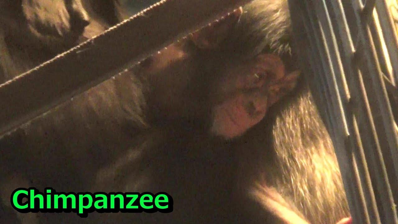 Tama chimpanzee family #874  チンパンジー一家の日常【多摩動物公園】