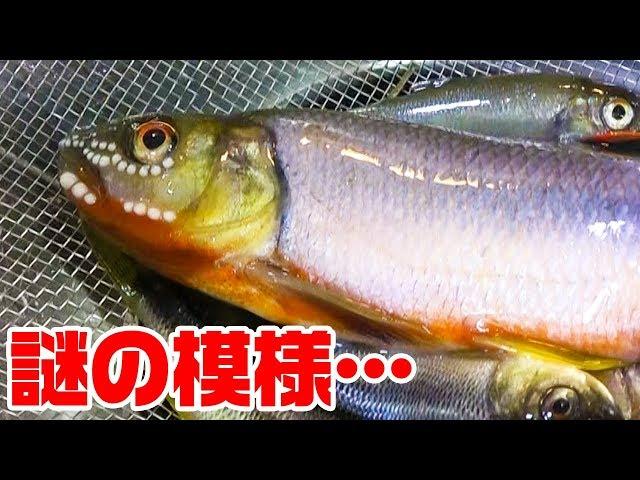 釣って来た魚を調理しようとしたら…