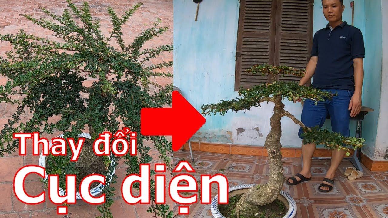 Sau 6 tháng cây đã bị biến dạng thế này đây-cây cảnh-bonsai-BShp