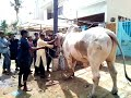Tubidy Big Sibi Bull Qurbani in Block N St. 2 by Professional Qasai at Eid ul Adha 2017 Bakra Eid 2017