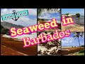 Seaweed in Barbados   See what the seaweed problem can do to the beaches in Barbados
