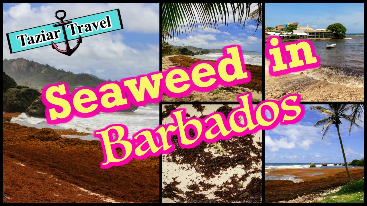 Seaweed in Barbados | See what the seaweed problem can do to the beaches in  Barbados