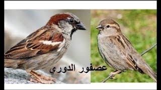 صوت دوري المنازل عصفور الدوري الكحالي voice song call house sparrow