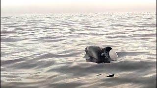 Северные дельфины