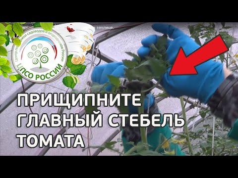 🍅 Как прищипывать главный стебель томатов в теплице. Выращивание томатов.