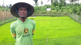 Semai Padi Dengan Dapok Indojarwo Di Halmahera Utara