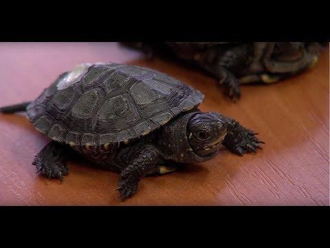 Daugavpilī atjauno purva bruņurupuču populāciju