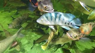 Mayan cichlid and walking catfish from pumped down koi pond, 4500 gal