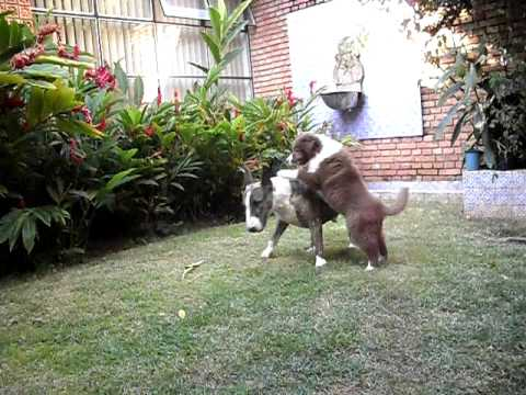 bull terrier x border collie youtube