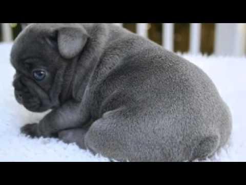 Conosciamo I Cani Bulldog Francese Youtube