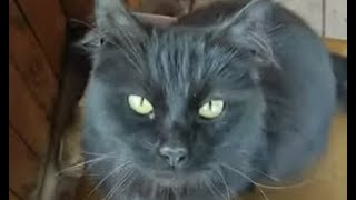 Самый умный кот в мире Чернуха понимает русский язык / smart cat understands Russian