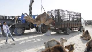 How to put a Camel in a Truck ?