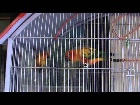 My sun conure parrot