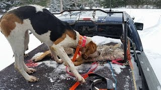 Another Bear Hunter/Dog Fighter Exposed in Michigan