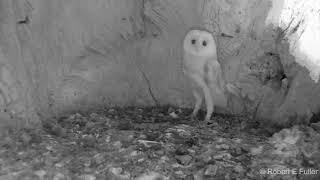 Owl (owlet). Funny animals#