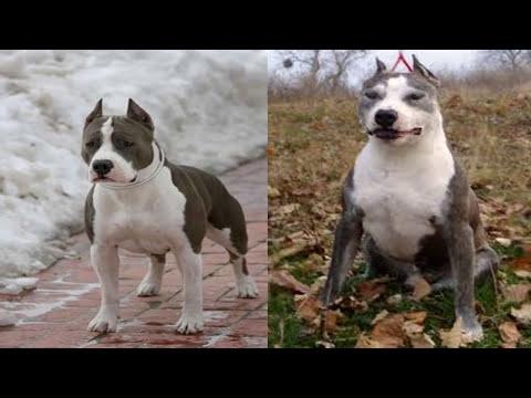 Pelea de perros staffordshire Terrier  mascota o no.