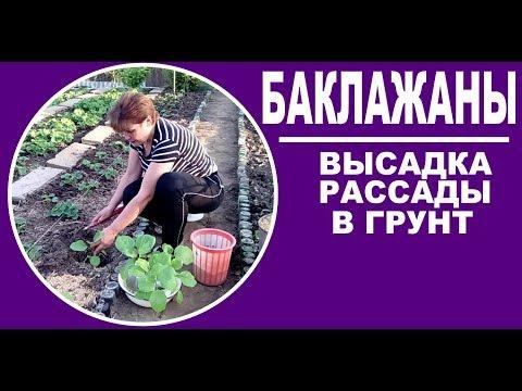 Когда и как сажать баклажаны в открытый грунт