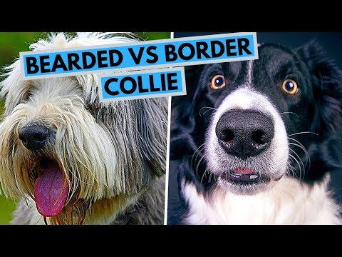 Bearded vs Border Collie - Dog Breed Comparsion
