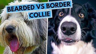 Bearded vs Border Collie  Dog Breed Comparsion