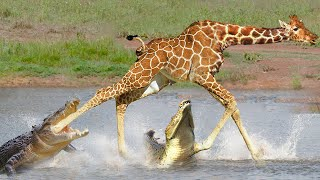 Giraffe Trying To Escape The Trocodile - Giraffe Across The River Confronting The Crocodile