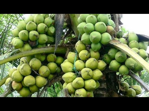 How to Make Coconut Hold More Fruit - coconut crops