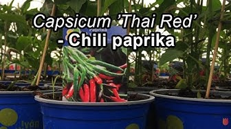 Thai Red chili paprika