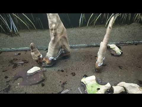 29 Periophtalmus Novemradiatus Brachygobius Doriae Neritina Turrita Pseudosearma Moeshi Aquarium Ber