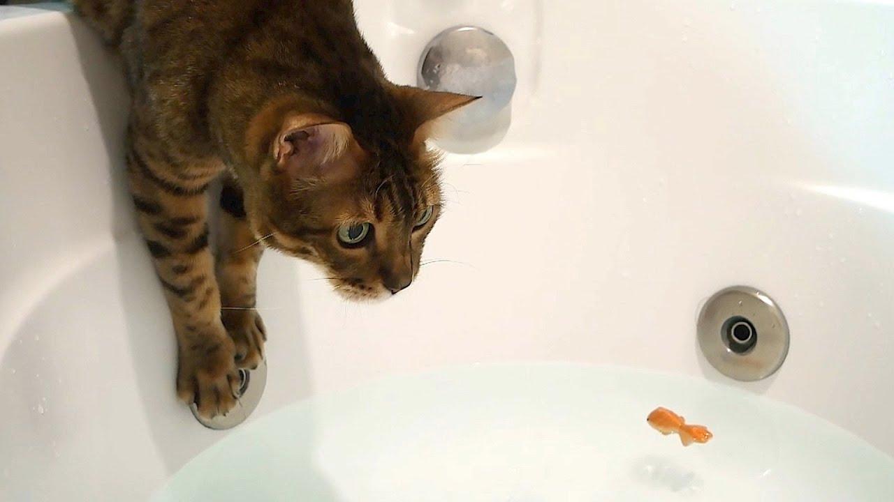레오가 물고기를 잡아줬어요!  물 좋아하는 뱅갈 고양이의 물고기 사냥기