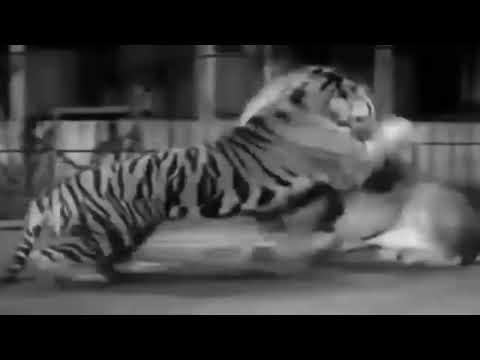 Kaplan ve aslan dòvùşù