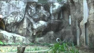 Funny Video: Snow Leopard Parkour