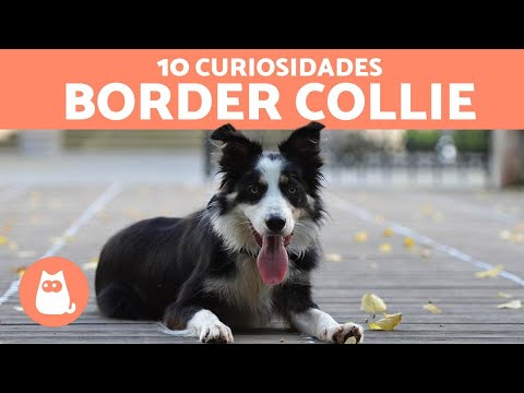 10 curiosidades del BORDER COLLIE