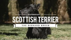 ALL ABOUT SCOTTISH TERRIERS