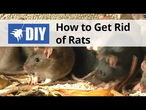 How to Get Rid of Rats | DIY Rat Control Guide