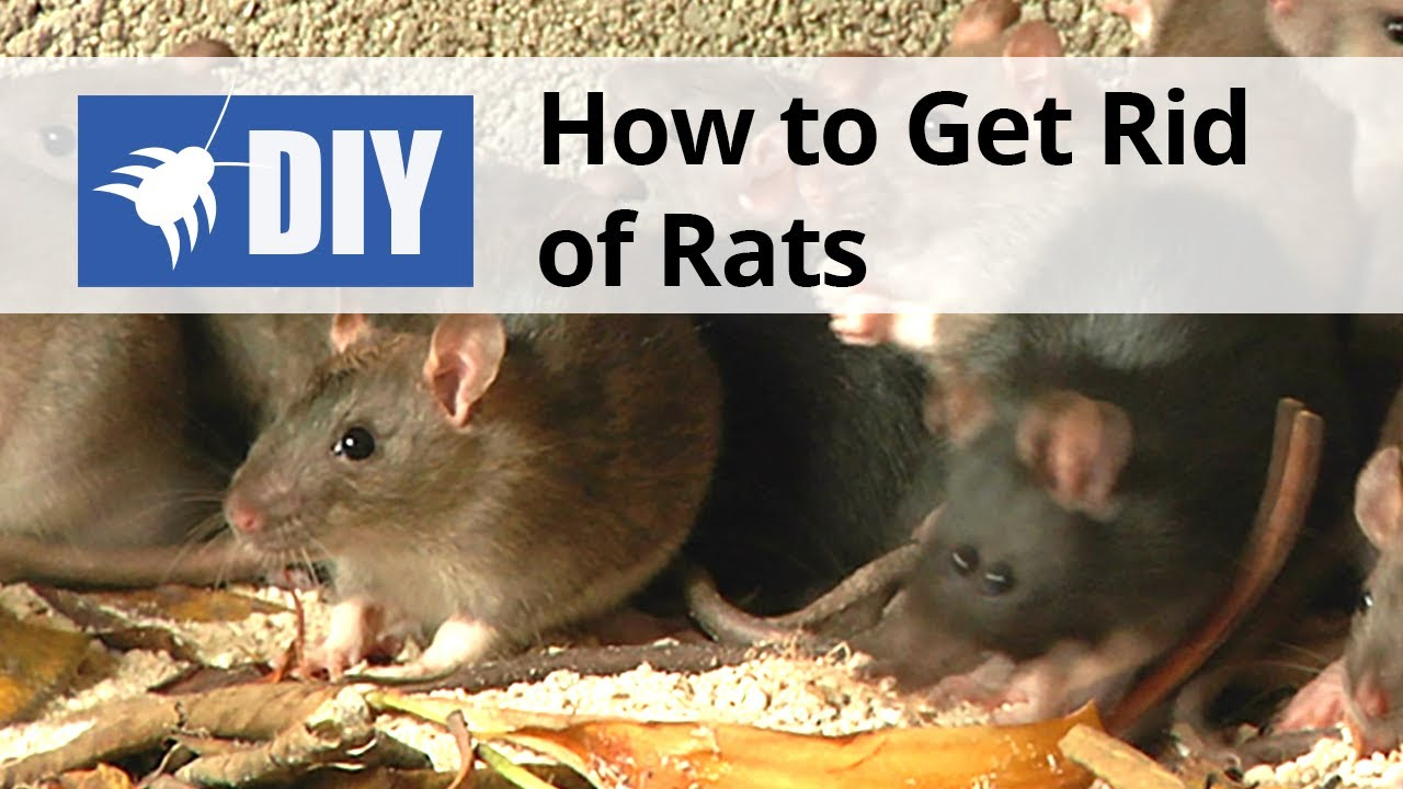 How to Get Rid of Rats | DIY Rat