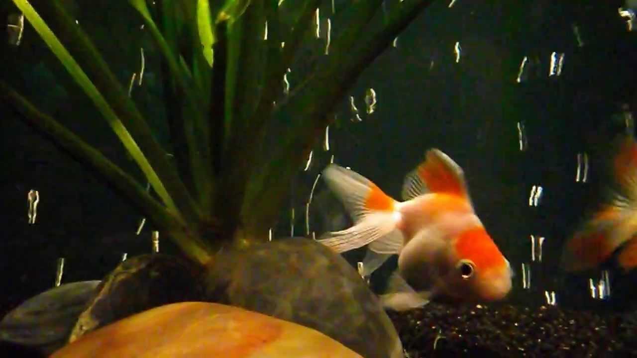Ryukin Goldfish Breeding Signs