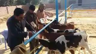 #cow #cows #funny Clever Cows, Curious Cows - Funny Cow Videos - Cute Cow & Horse Video