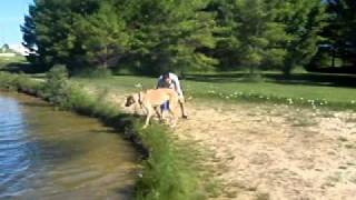 Irish Wolfhound/great Dane Cross  Playing In The Water At Cottage