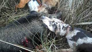 hmong hog hunt on north island south carolina casper's first kill!!