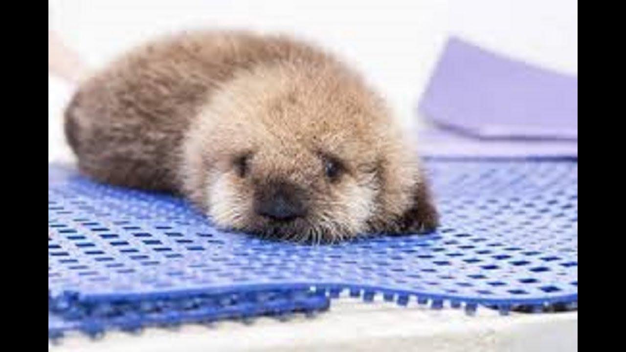 ラッコラッコの赤ちゃんってこんなに可愛いの赤ちゃんsea Otter